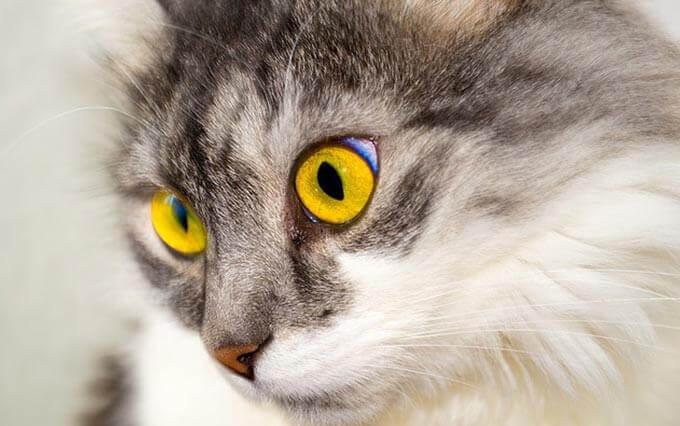 Doença Renal em Gatos: os proprietários de gato devem saber