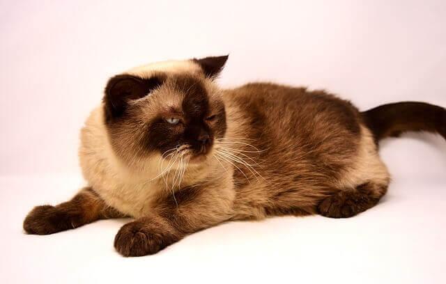 Doença renal policística (PKD) em gatos