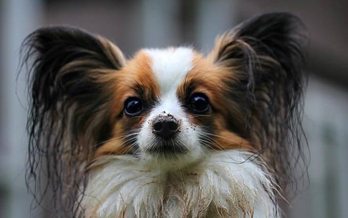 Doença do trato urinário em cachorros