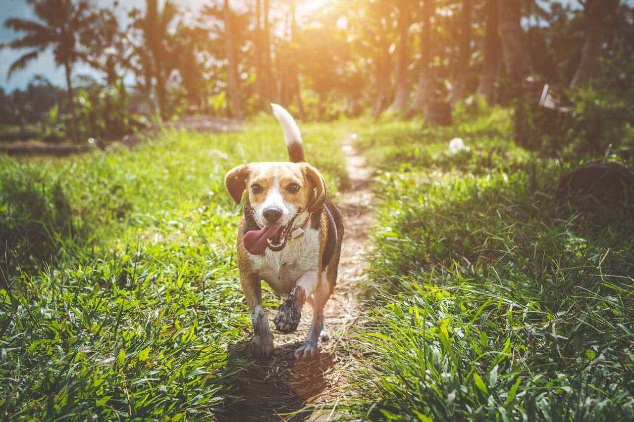 Doença vestibular em cães
