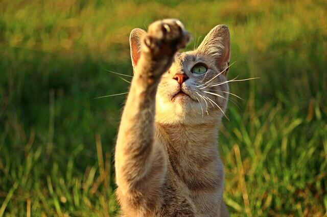 Doença vestibular em gatos