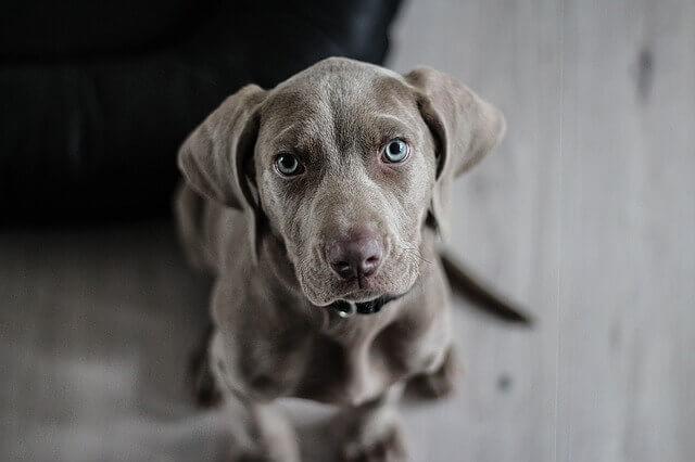 Doenças Comuns de Cães Weimaraner