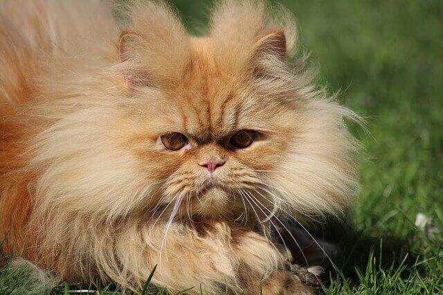 Doenças Comuns de Gatos Persas