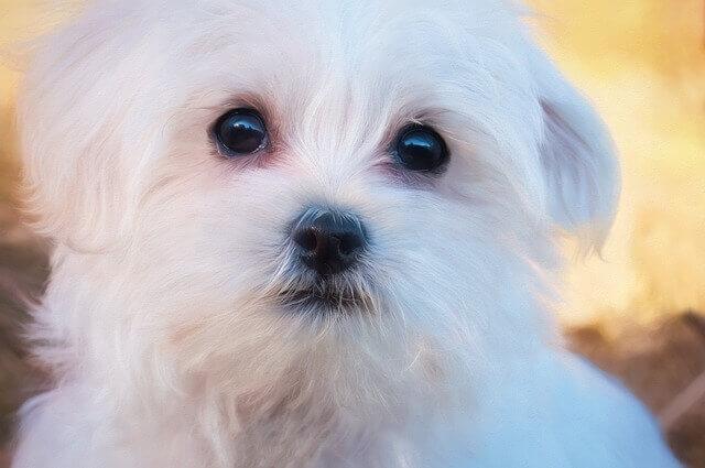 Doenças Comuns dos Cães Malteses