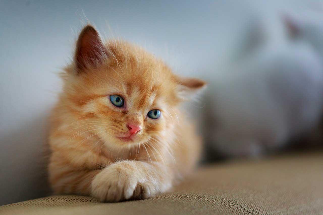 Doenças Musculares Inflamatórias Generalizadas em Gatos