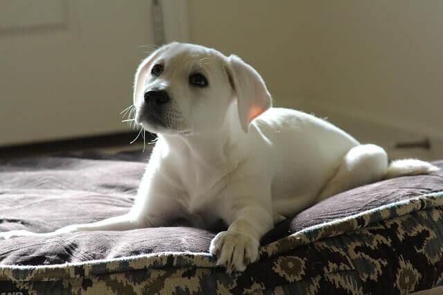 Dor abdominal em cachorros