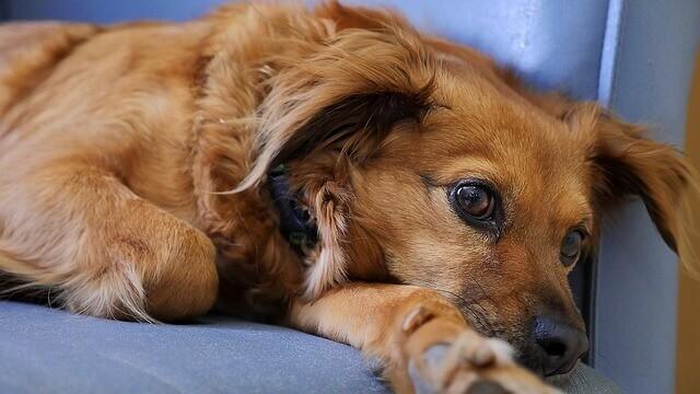 Dor (Aguda, Crônica e Pós-operatória) em Cães