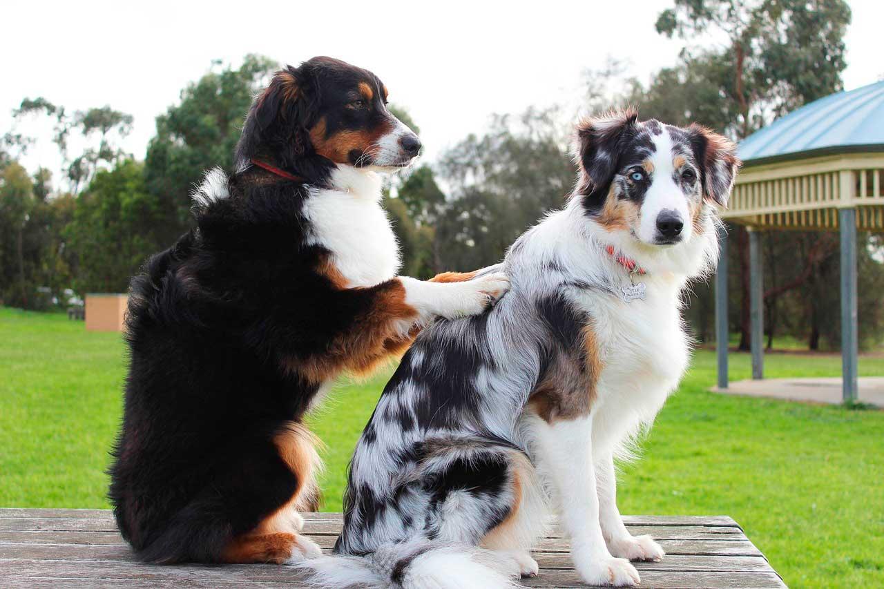 Efeito da massagem no sistema linfático do cão
