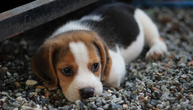 Efeitos colaterais da prednisona em cães