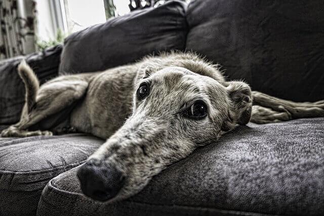 Envelhecimento cerebral e mudanças comportamentais em cães
