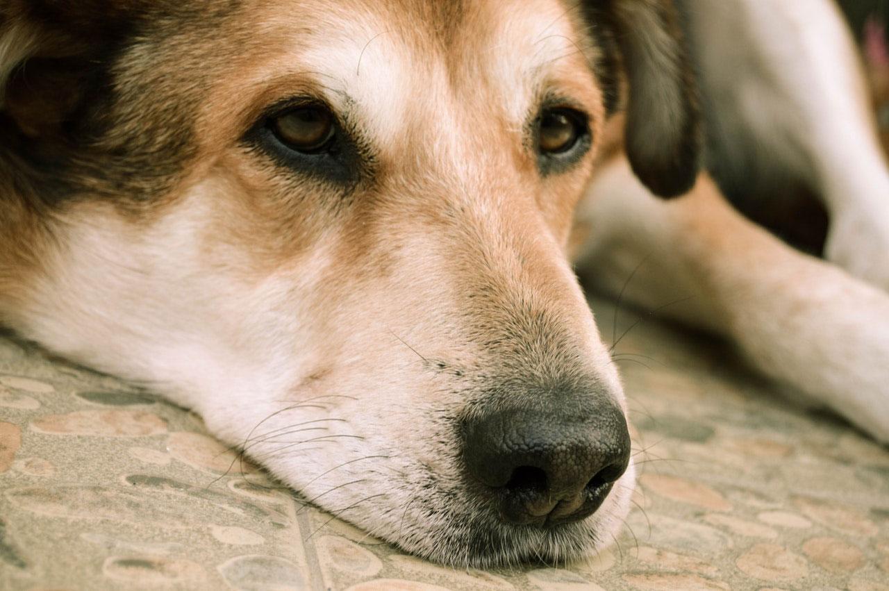 Envenenamento por ferro em cães | Causas, Estágios e Sintomas