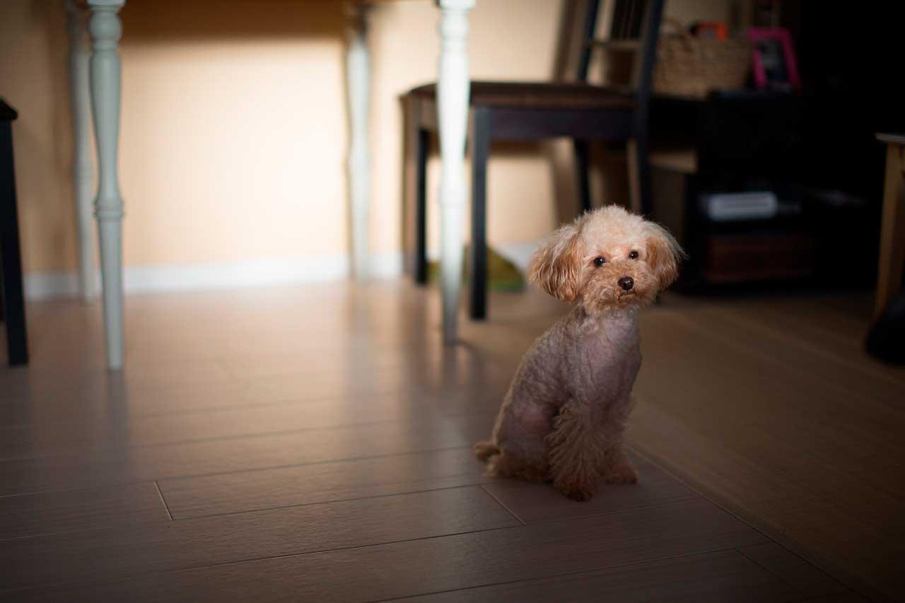 Epilepsia em Poodle