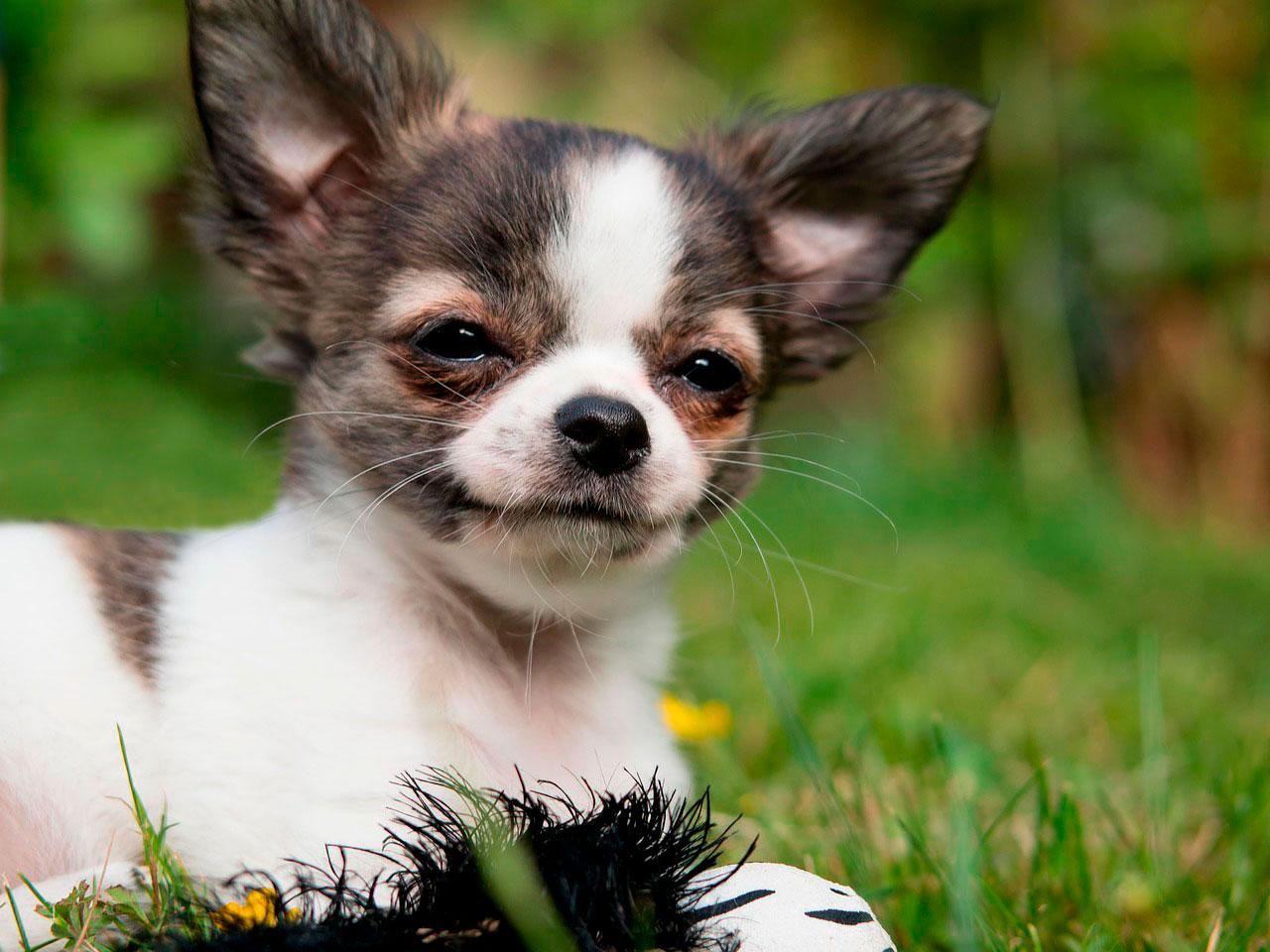 Espirro no Chihuahua | Causas e Sintomas