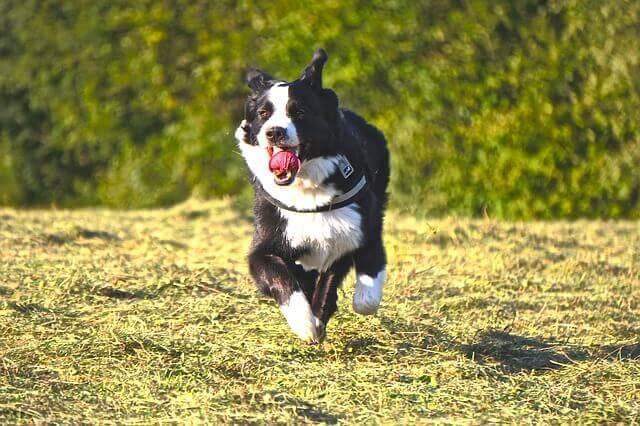 Estiramento ou rompimento do tendão de Aquiles em cães