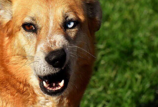 Estrabismo em cães - causas, sintomas e tratamento