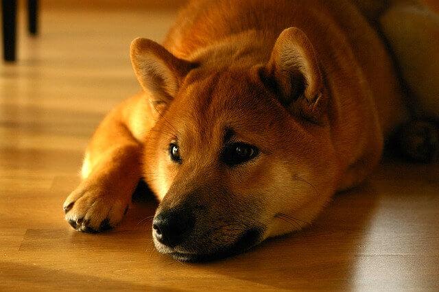 Estudo de células estaminais visa curar as alergias de seu cão