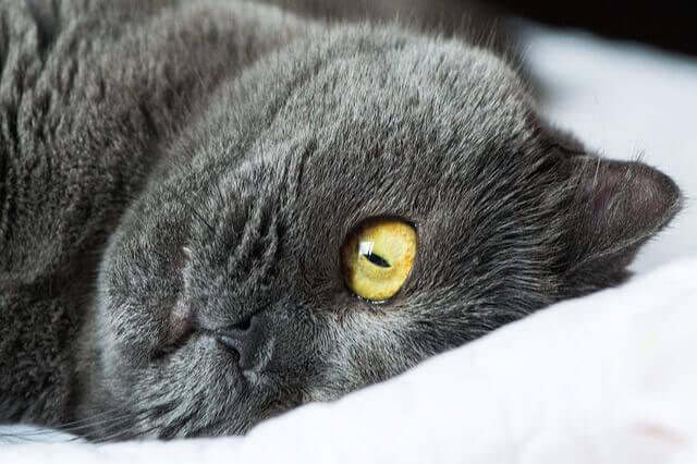 Fístula Perianal em Gatos - Tratamento e Cuidado