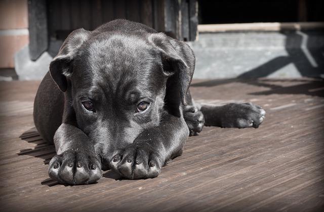 O que causa fraqueza em cães?
