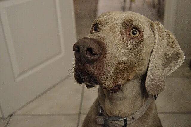 Gabapentina para cães