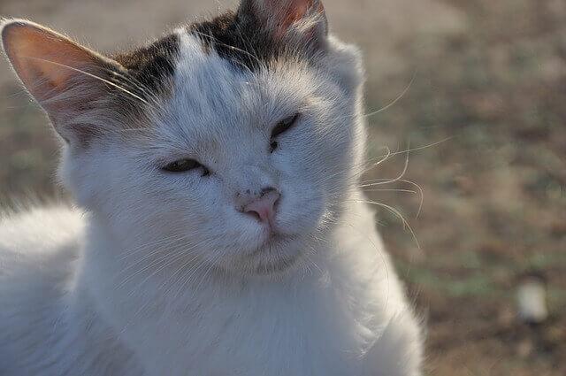 Gato com cegueira na velhice