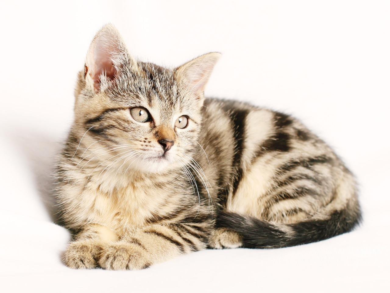 Gatos e Corticosteroides | Problemas e Efeitos