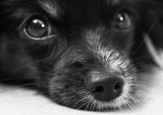 Glaucoma em Cães