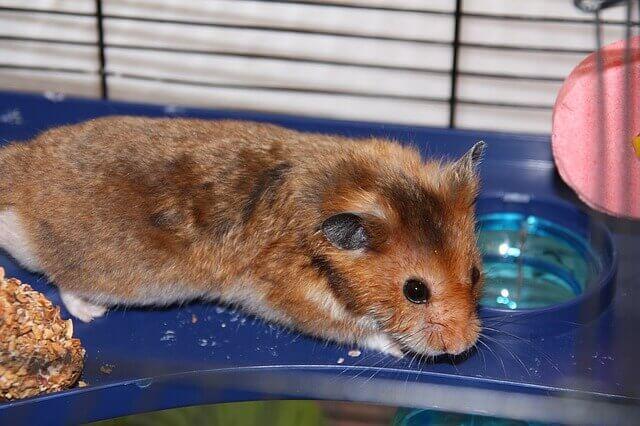 Hamsters podem comer uvas?