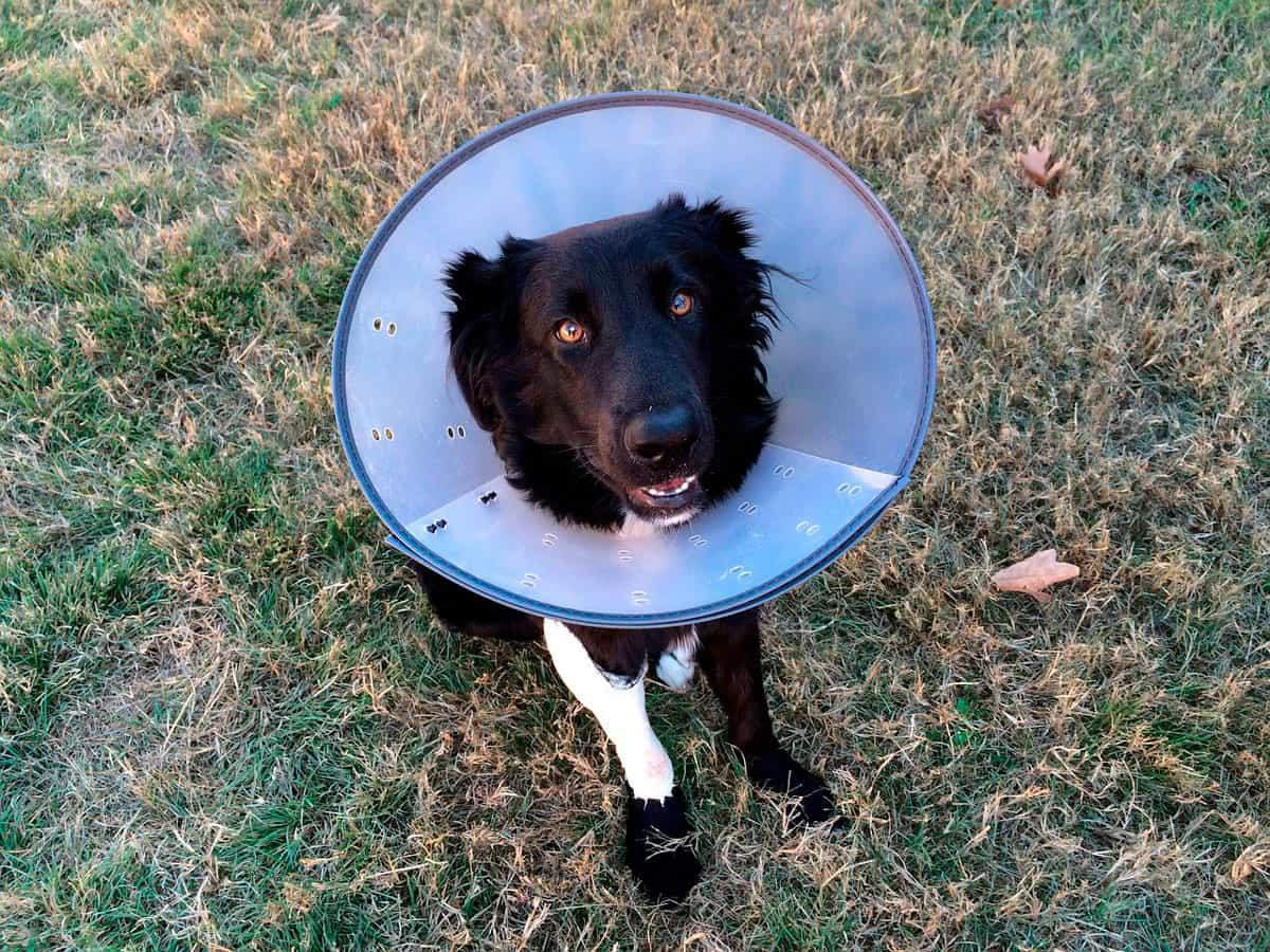 Hematoma da orelha nos cães | Causas, Sintomas e Tratamento