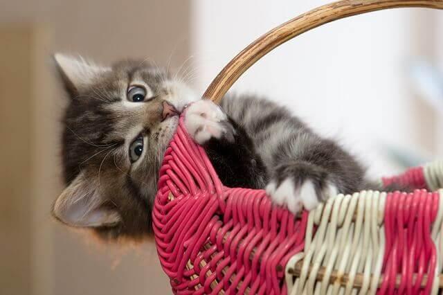 Hematoma em gatos (Seroma)