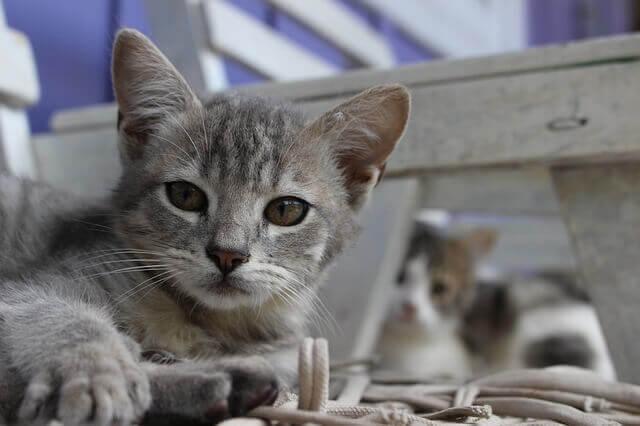 Hepatite em gatos - causas, sintomas e tratamento
