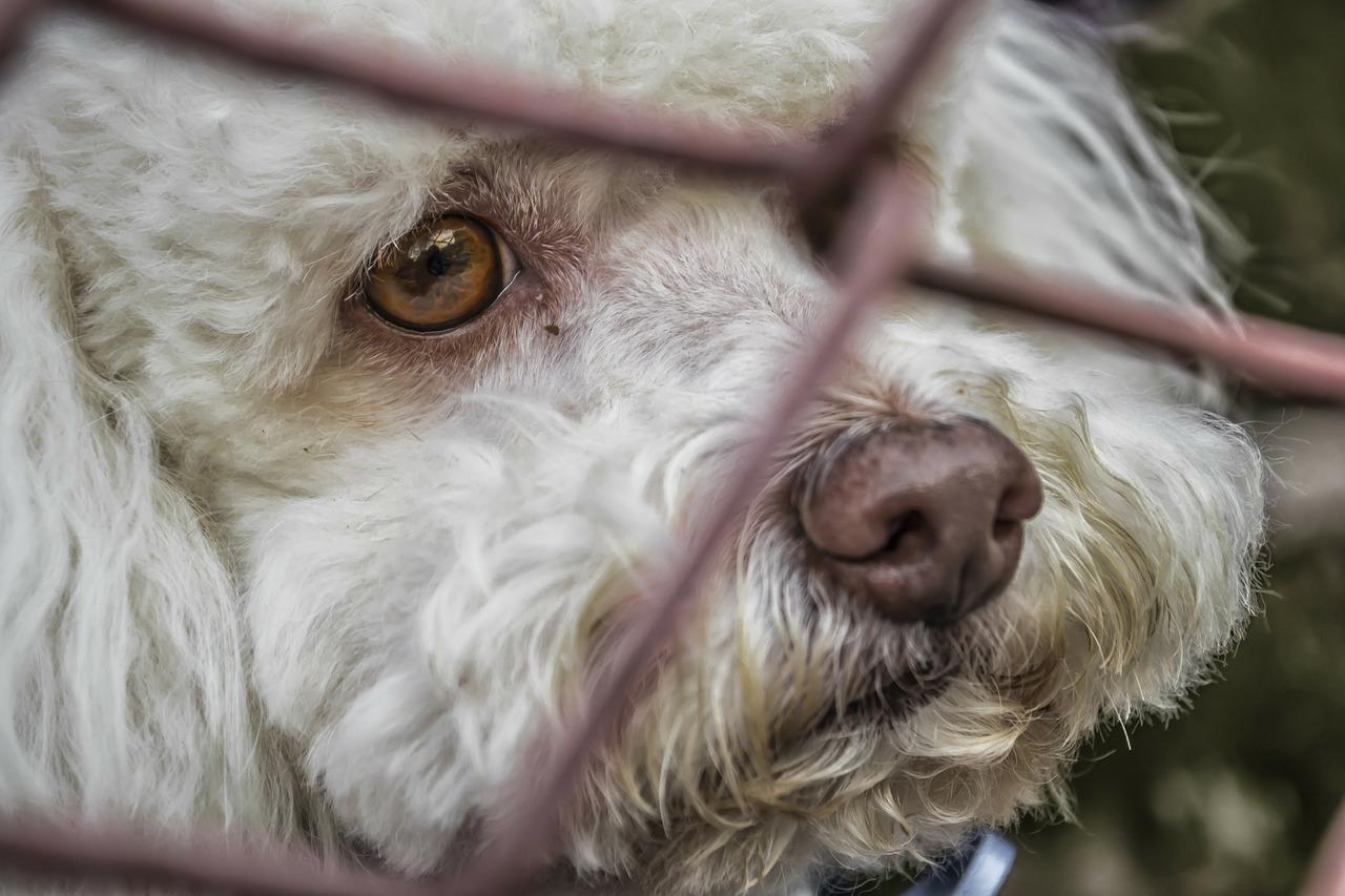 Hepatopatia crônica associada ao acúmulo de cobre em cão