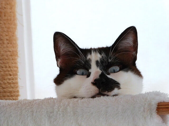 Hérnias Diafragmáticas em Gatos