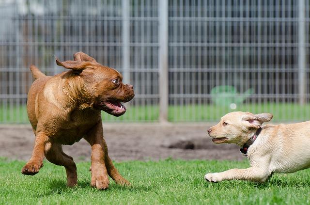 Higroma do cotovelo nos cães