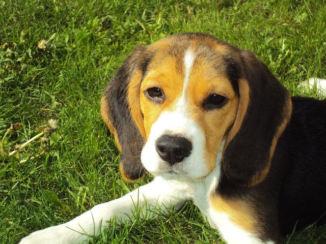 Hiperatividade em Beagle