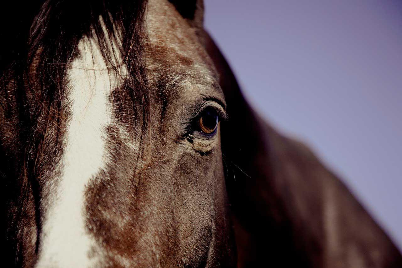 Hiperlipemia | Desordem do sangue em cavalos