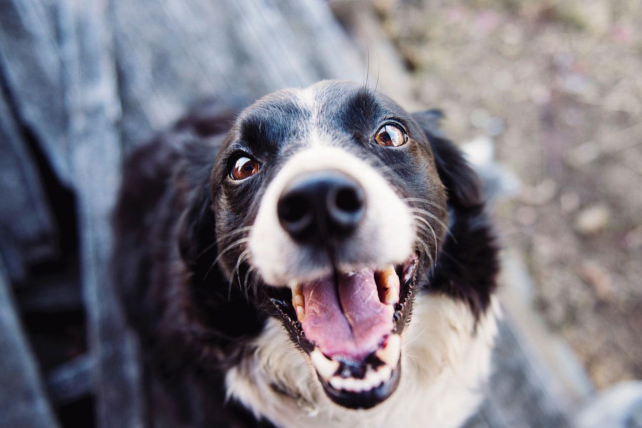 Hipertermia e Insolação em cães | Sintomas e Tratamento