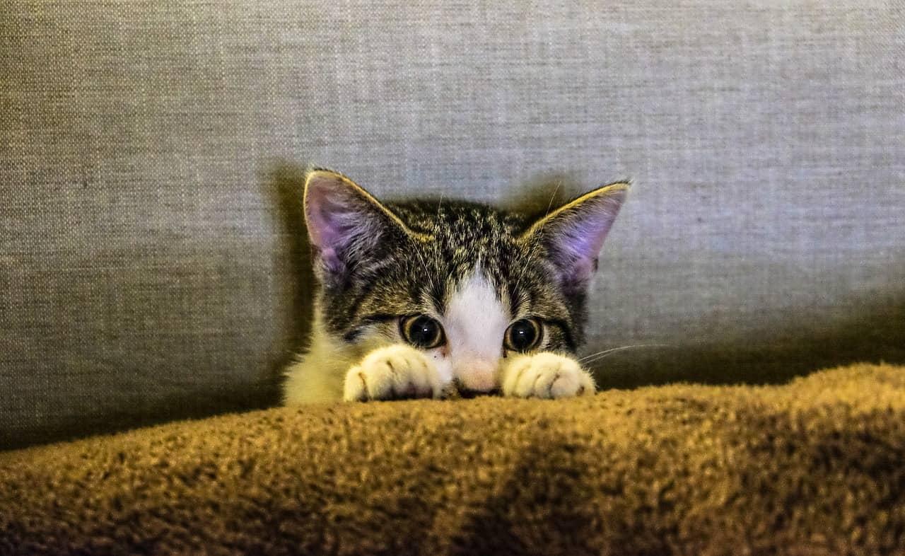Hipoplasia cerebelar em gatos e cães