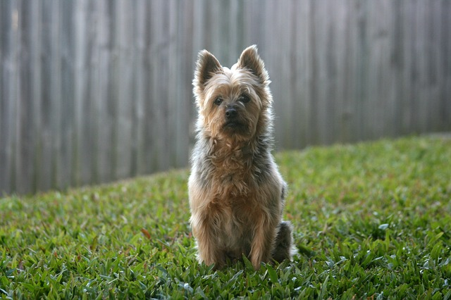 Inchaço da glândula salivar em cães
