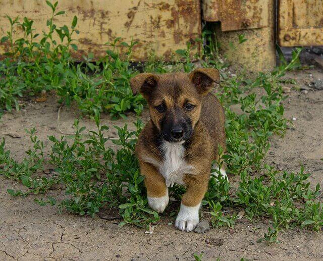 Infecção Bacteriana (campilobacteriose) em cães