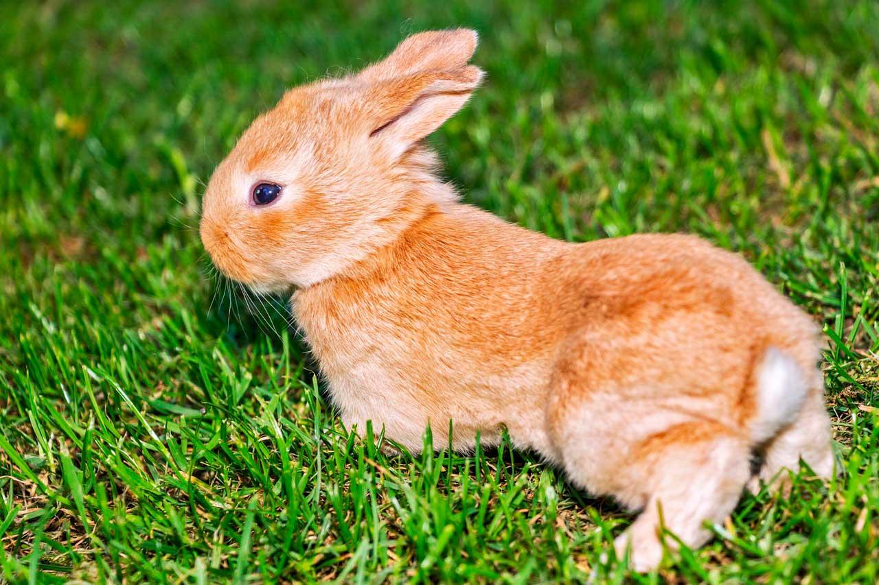 Infecção bacteriana da pele em coelhos