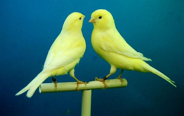 Infecção por ácaros do saco aéreo em aves