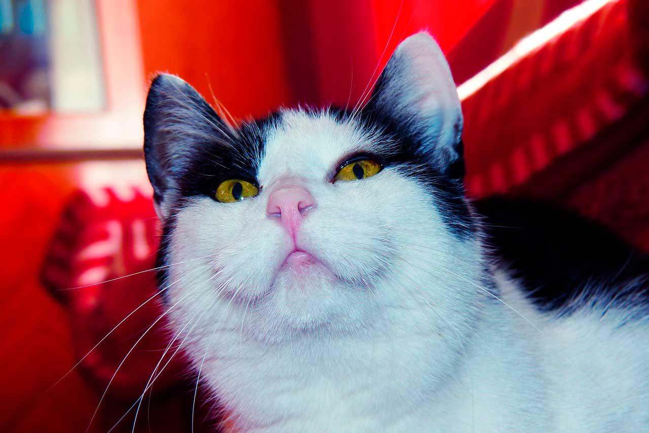Infecção respiratória superior em gatos