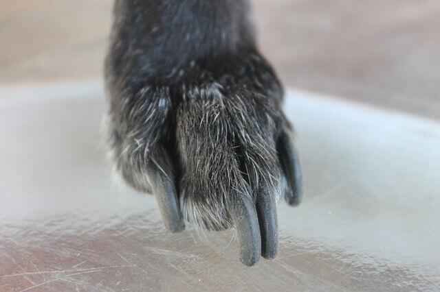 Infecções na unha em cães