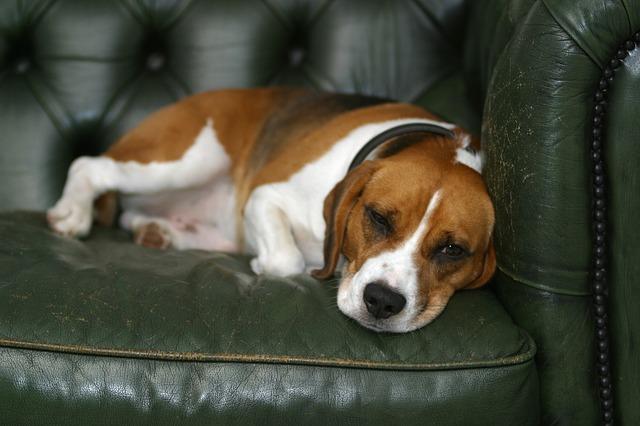 Inflamação da Artéria em Cães