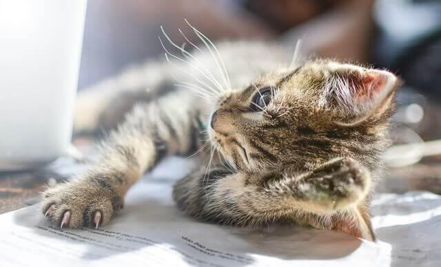 Inflamação dos olhos em gatos