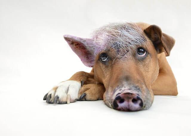 Inflamação do Estômago (gastrite atrófica) em cães