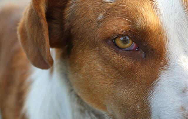 Inflamação ocular em cães