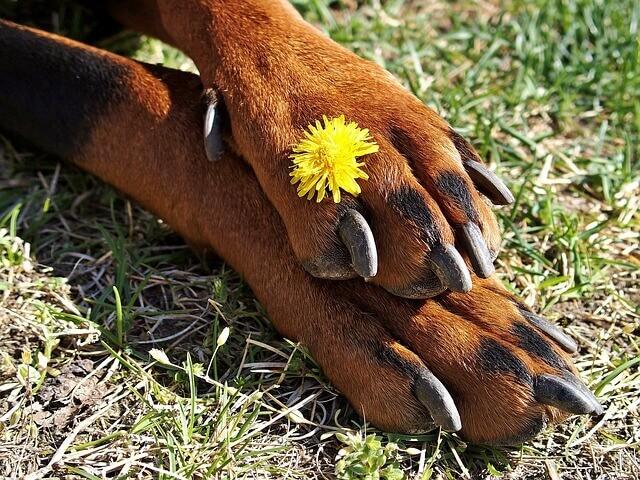 Panosteíte | Inflamação óssea em cães