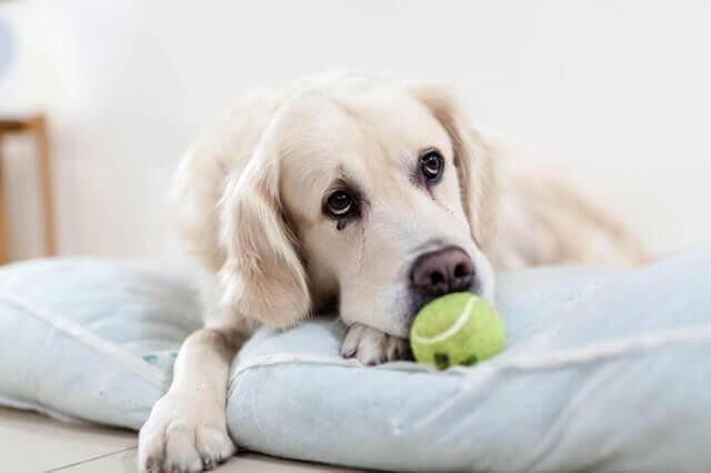 Inflamação do pâncreas em cães