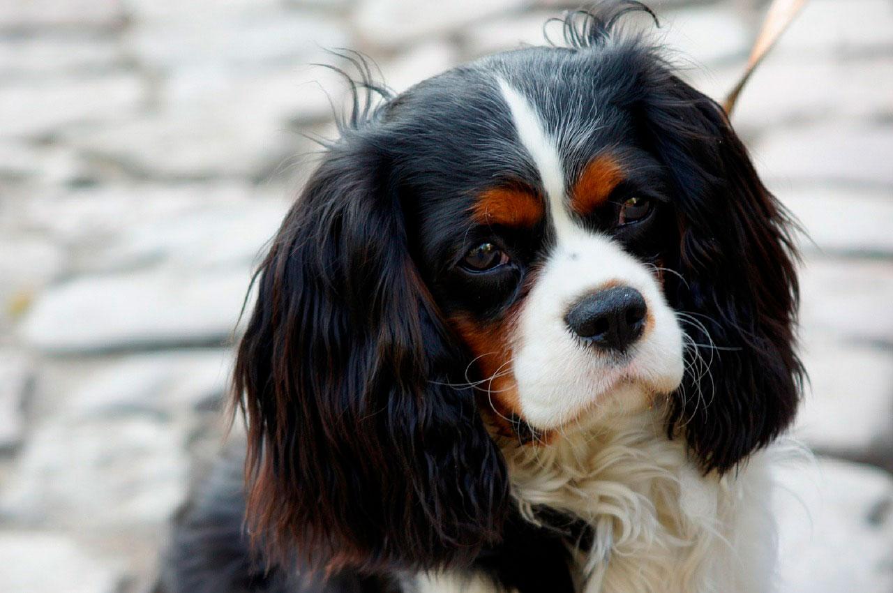 Insuficiência cardíaca congestiva em cães | Causas e Sintomas